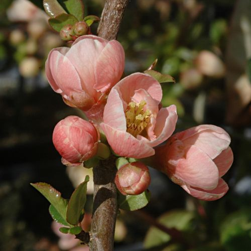 Chaenomeles Madame Butterfly