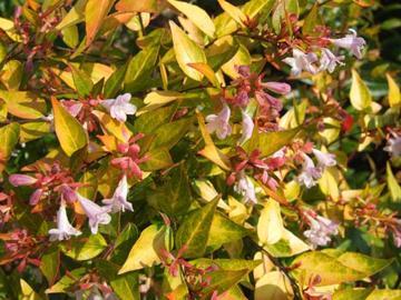 Deeproot Plant Base Online Abelia X Grandiflora Frances Mason