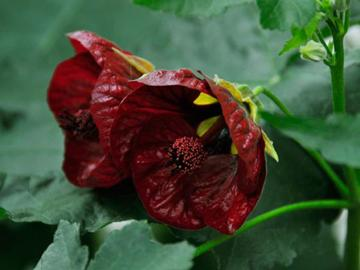 Abutilon 'Red Princess'