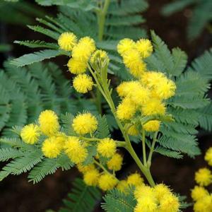 Deeproot Plant Base Online Acacia Dealbata Gaulois Astier