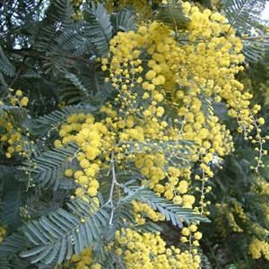 Deeproot Plant Base Online Acacia Dealbata Ssp Subalpina