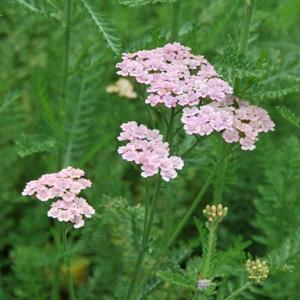 Achillea 'Forncett Candy'