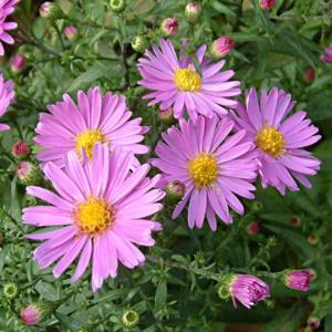 Symphyotrichum novi-belgii 'Little Pink Beauty'