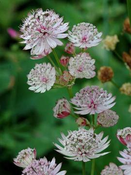 Astrantia major 'Rosea'