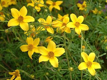 Deeproot plant base online bidens ferulifolia 39 solaire 39 for Plante ombre exterieur