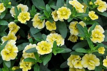 Calibrachoa 'MiniFamous Double Yellow'
