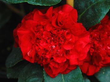 Camellia 'Ruby Wedding'