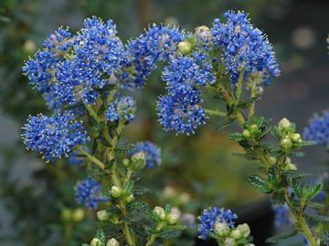 deeproot plant base online ceanothus impressus 39 puget blue 39. Black Bedroom Furniture Sets. Home Design Ideas