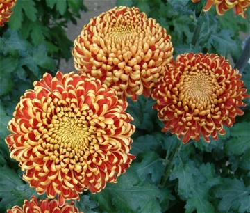 Chrysanthemum 'Lilian Shoesmith'