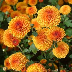 Chrysanthemum 'Brown Eyes'