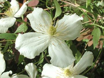 deeproot plant base online clematis montana 39 grandiflora 39. Black Bedroom Furniture Sets. Home Design Ideas