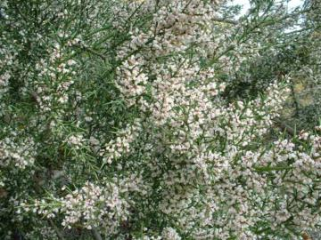 Colletia hystrix 'Rosea'