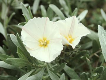 Convolvulus cneorum 'Snow Angel'