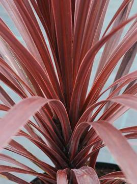 Cordyline australis 'Torbay Red'