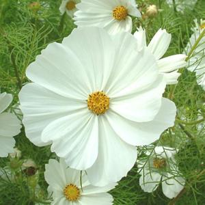 Cosmos 'Purity'