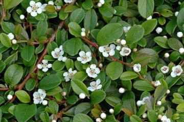Deeproot plant base online cotoneaster dammeri 39 mooncreeper 39 - Cotoneaster dammeri green carpet ...