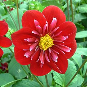 Dahlia 'Hillcrest Regal'