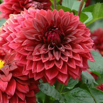 Dahlia 'Keith's Choice'