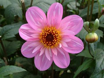 Dahlia 'Teesebrooke Red Eye'