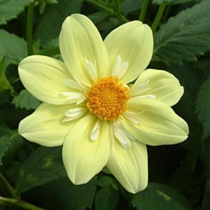 Dahlia 'Wootton Windmill'