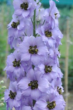 Delphinium 'Tiger Eye'