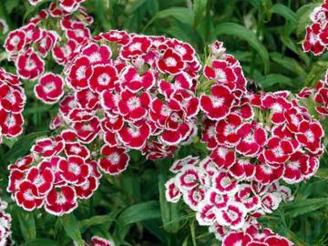 Dianthus barbatus 'Messenger Red and White'
