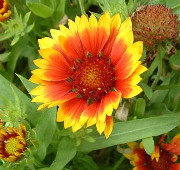 Gaillardia 'Summer Fire'