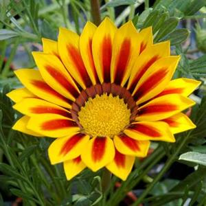 Gazania 'Kiss Yellow Flame'