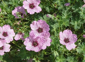 deeproot plant base online geranium cinereum 39 ballerina 39. Black Bedroom Furniture Sets. Home Design Ideas