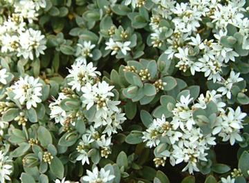 Hebe pinguifolia 'Pagei'