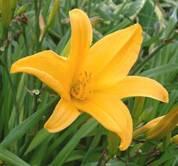 Hemerocallis 'Burford'