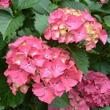 Hydrangea macrophylla 'Red Rock'