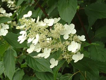 deeproot plant base online hydrangea paniculata 39 kyushu 39. Black Bedroom Furniture Sets. Home Design Ideas