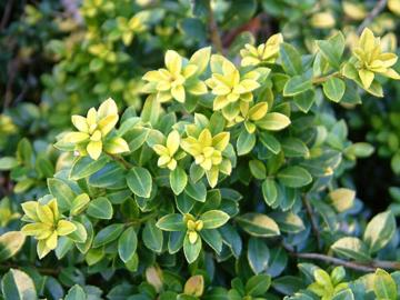 Deeproot Plant Base Online Ilex Crenata Golden Gem