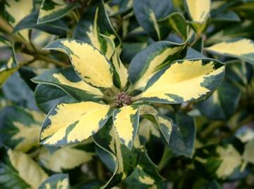 Ilex x altaclerensis 'Ripley Gold'