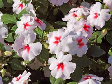 Impatiens walleriana 'Tempo Cherry Butterfly'