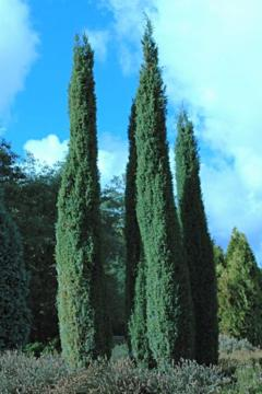 deeproot plant base online juniperus communis 39 hibernica 39. Black Bedroom Furniture Sets. Home Design Ideas