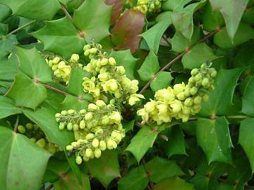Deeproot plant base online mahonia japonica 39 bealei group 39 for Mahonia japonica