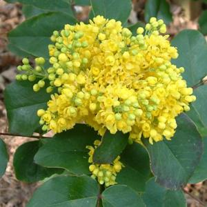 Mahonia repens 'Rotundifolia'