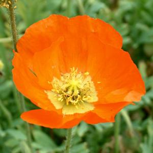 Papaver nudicaule 'Summer Breeze Orange'