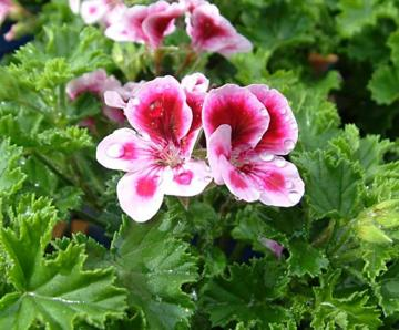 Pelargonium 'Tip Top Duet'