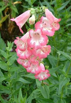 Penstemon 'Flamingo'