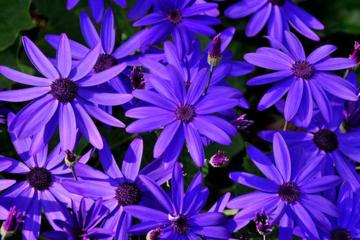 Pericallis 'Senetti Deep Blue'