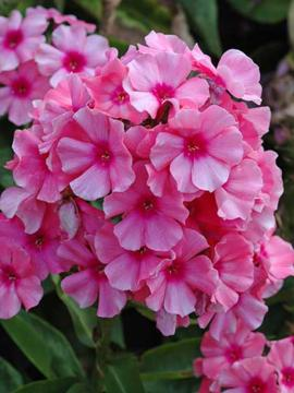 Phlox paniculata 'Light Pink Flame'