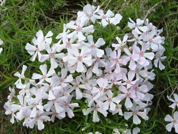 Deeproot Plant Base Online Phlox Subulata White Delight