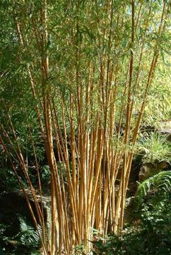 deeproot plant base online phyllostachys vivax 39 aureocaulis 39. Black Bedroom Furniture Sets. Home Design Ideas