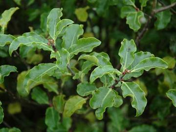 Pittosporum tenuifolium 'Arundell Green'