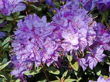 Rhododendron 'Blue Silver'