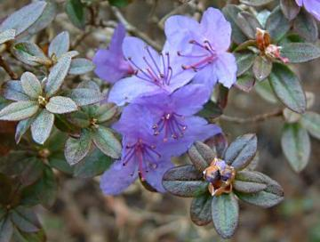 Rhododendron 'Blue Star'
