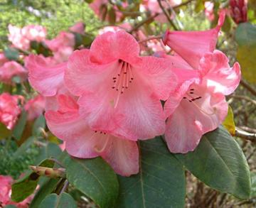 Rhododendron 'Cornish Cross'